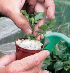 метод размножения роз стимулятор роста