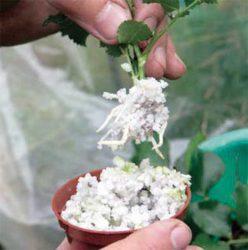 корни роз стимулятор роста