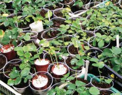черенкование роз мастер класс садовод