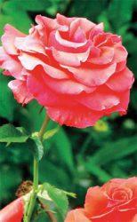 розу сорта для средней полосы