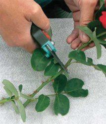 Стебель розы нарезаем на черенки