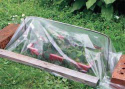 пленка черенки роза садовод