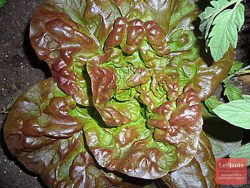 Кадо Полукочанный среднеспелый сорт
