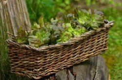 салата,отзывы названия почва характеристика