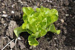 салат на даче как вырастить какой