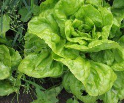 Берлинский желтый Российские семена салат