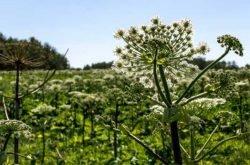 борщевик Сосновского распространение популяция семена
